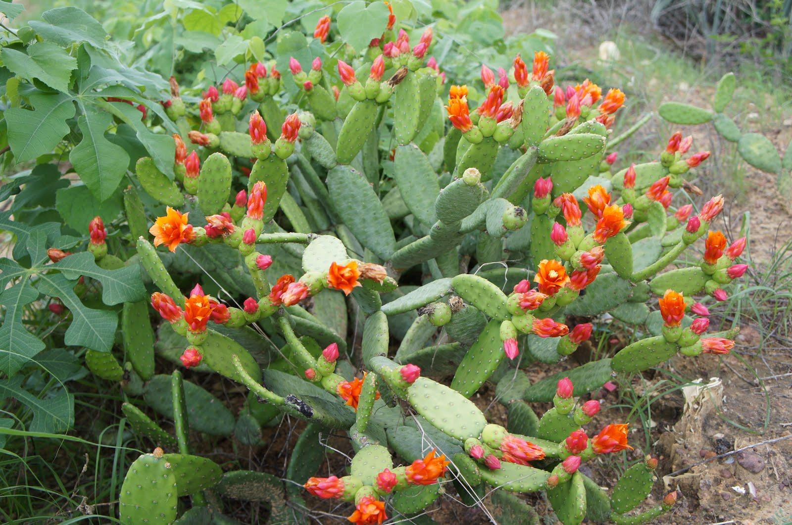 A floração do quipá na caatinga
