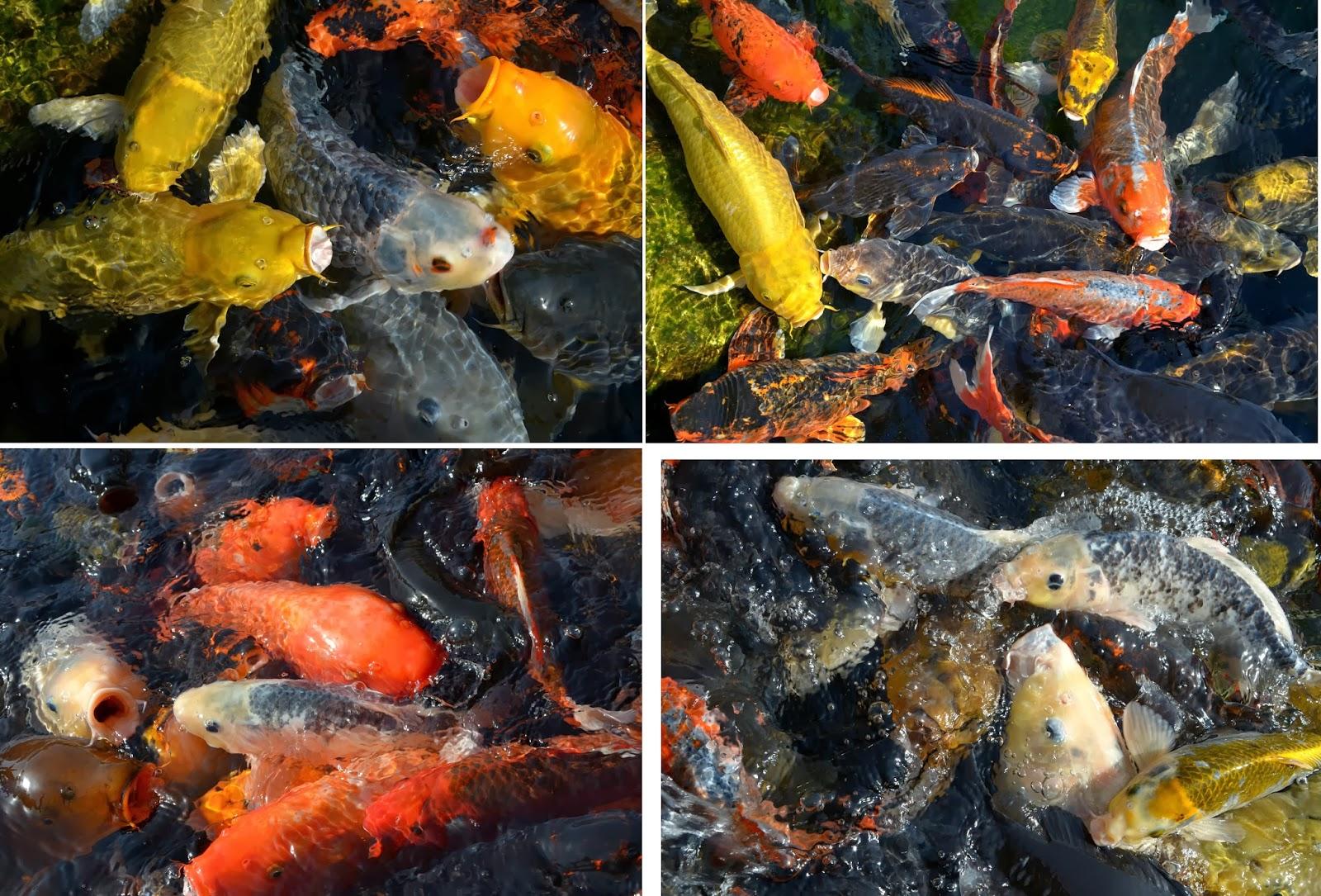 Autour de gen ve comme un poisson dans l 39 eau majorque for Peluche carpe koi