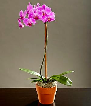Phalaenopsis Orchid Delivery in Canada and pictures