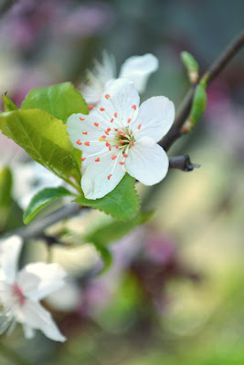 cherry blossoms, flowering tree, gardening, seattle, nature, photography, spring, plum