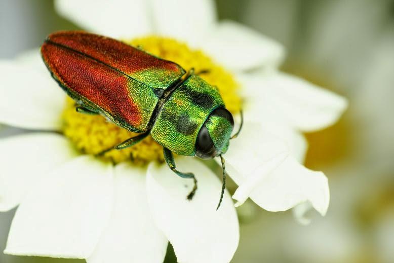 Anthaxia passerinii