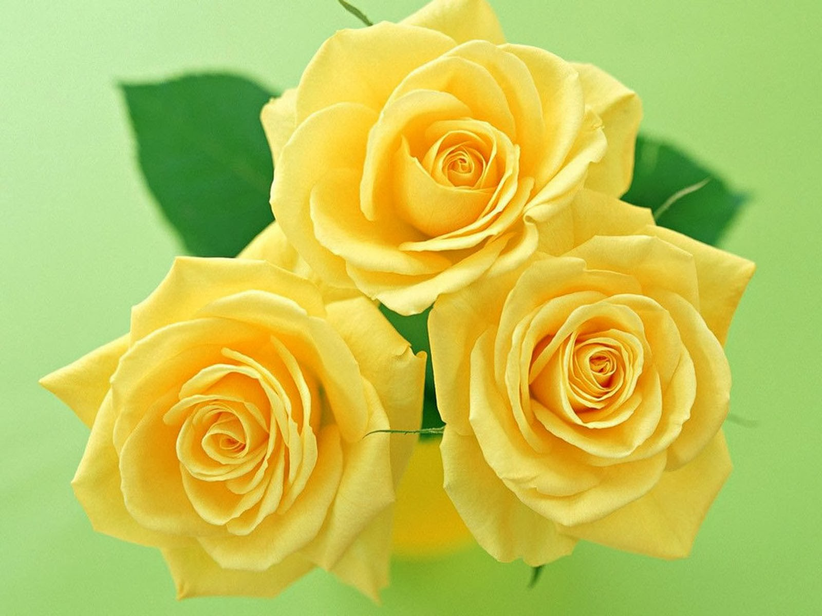 Yellow Rose Wallpapers 252872529