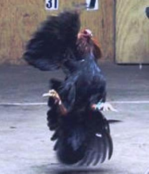 Gallo peleando