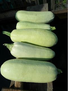 20 июля, плоды кабачков
