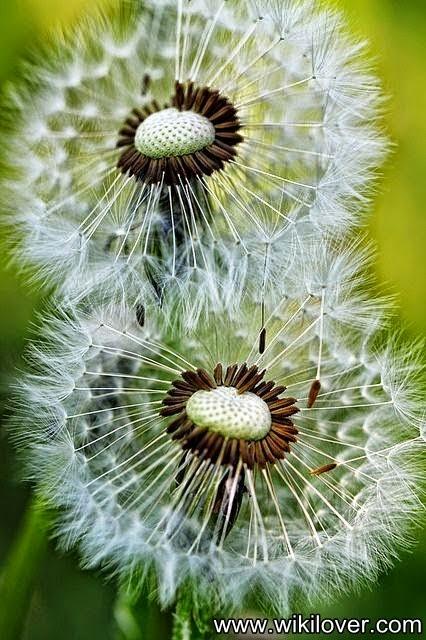 Bức ảnh nền đẹp nhất về hoa bồ công anh