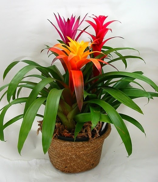 biljka guzmanija