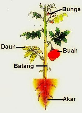 Struktur dan Fungsi Organ pada Tumbuhan