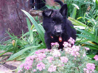 Anak Anjing Belgian Shepherd