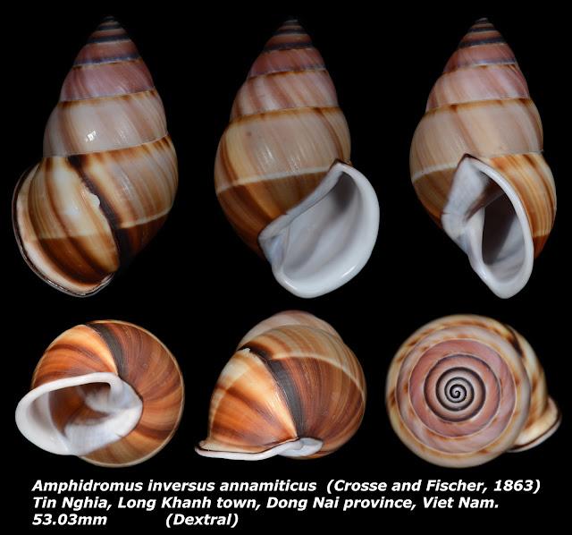 Amphidromus inversus annamiticus 53.03mm ((Dextral)