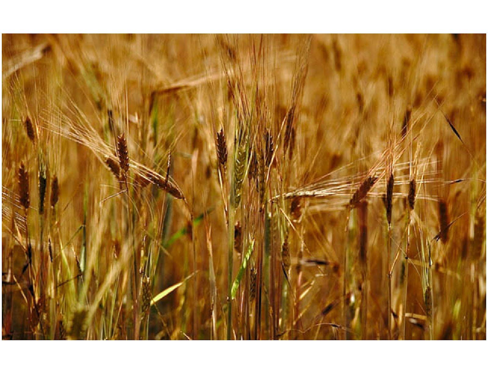 http://2.bp.blogspot.com/-L9CxWifJ2ew/T0bwNDNt2KI/AAAAAAAADYU/leyP4fMQl7k/s1600/wheat.jpg