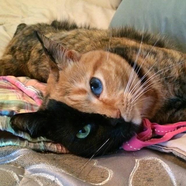 Venus Si Kucing Unik Dengan Dua Belah Wajah dan Mata yang Berbeda