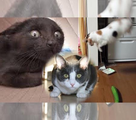 cats terrified of cucumbers