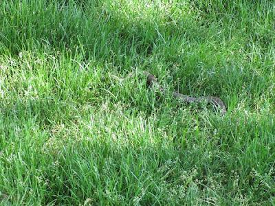 Snake in Detroit