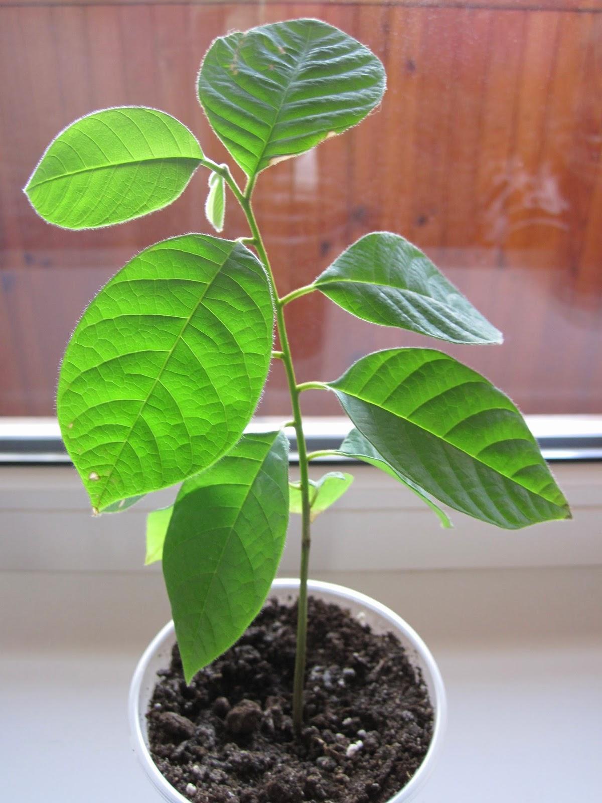 Как посадить и вырастить рамбутан из косточки в домашних 40