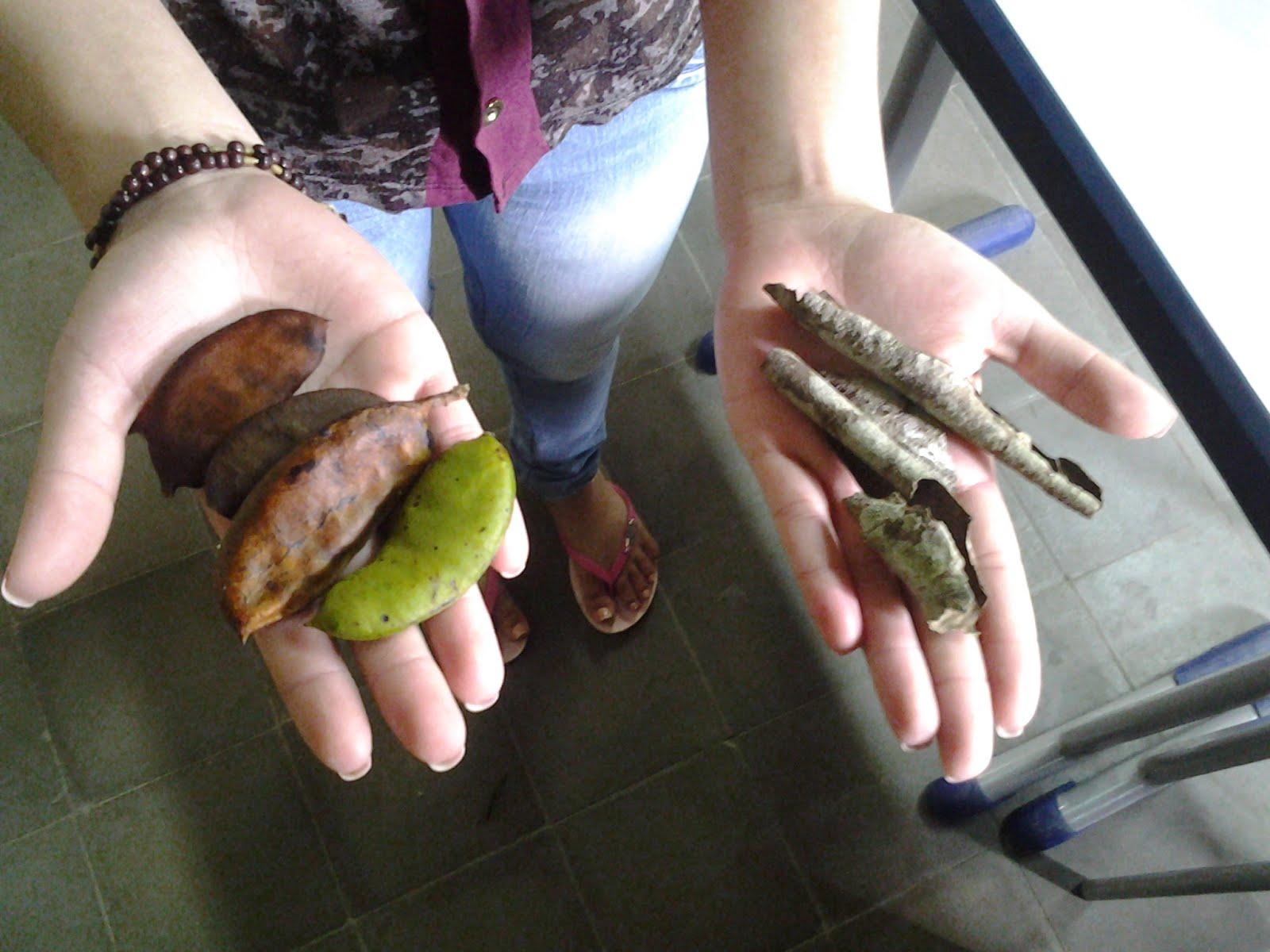 fruto e casca de pau-ferro