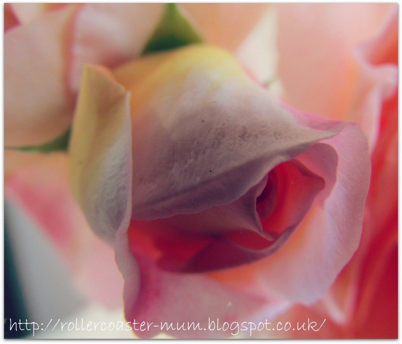 #alphabetphoto, F is for Flower, Rose bud