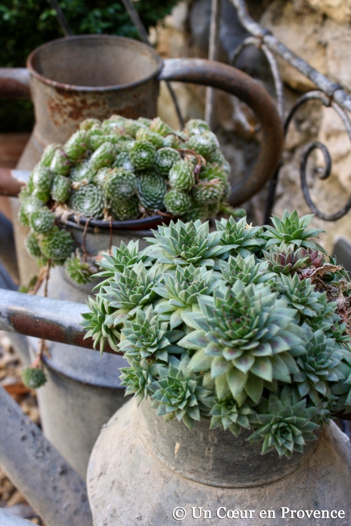 Succulentes disposes dans des arrosoirs en zinc