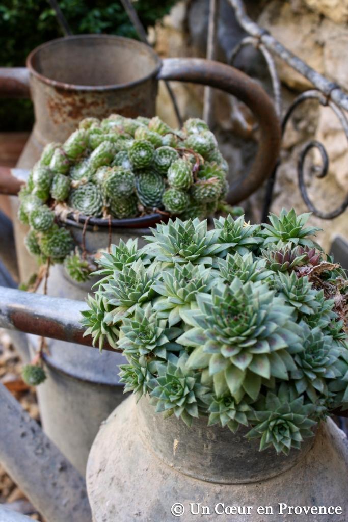 Succulentes disposées dans des arrosoirs en zinc
