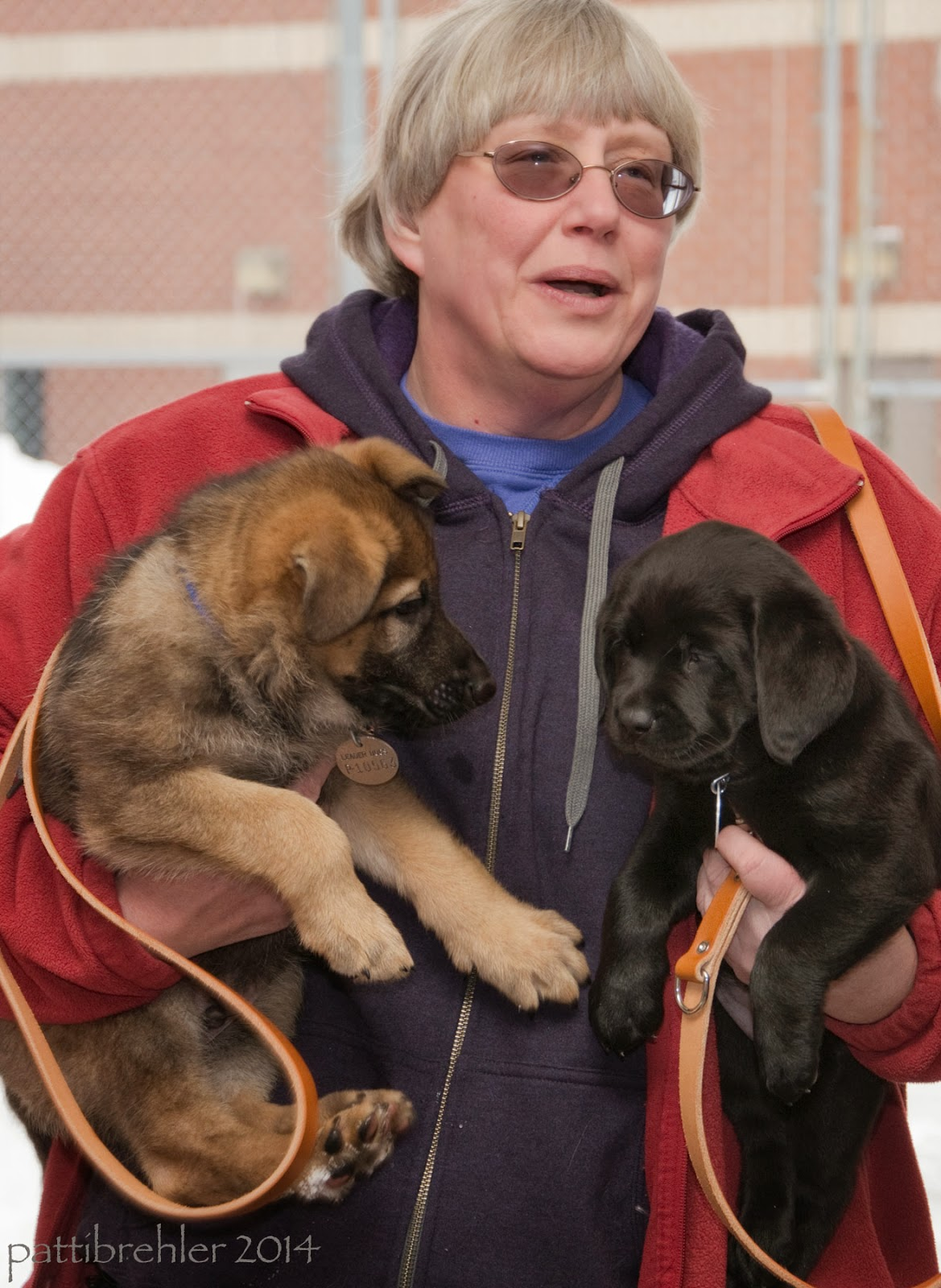 A white-haired woman wearing glasses is carrying a puppy under each arm. She is wearing a maroon fleece jacket over a blue hooded sweatshirt. The puppy on the left is a german shepherd and the puppy on the right is a black lab. Both have brown leashes hanging down.