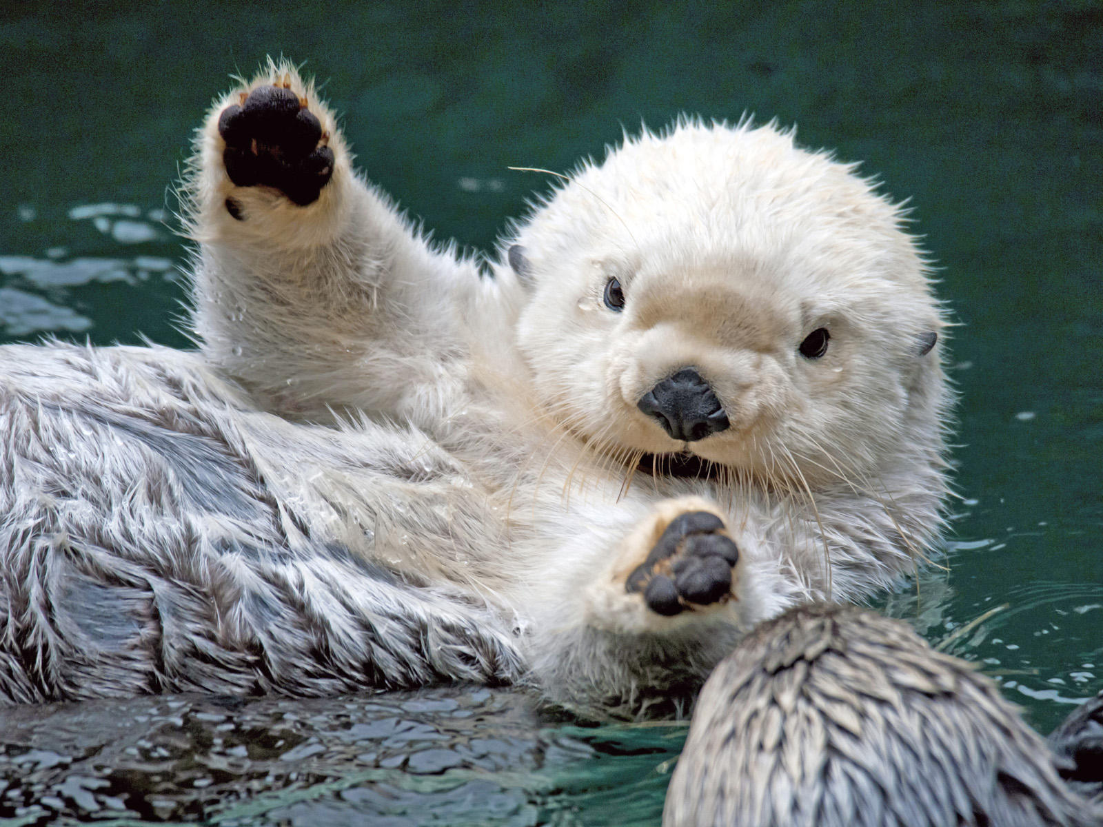 Funny Sea Otter Beautiful Photos 2012 - Pets Cute and Docile