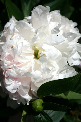 Summer Elements: nostalgia peonies :: All Pretty Things