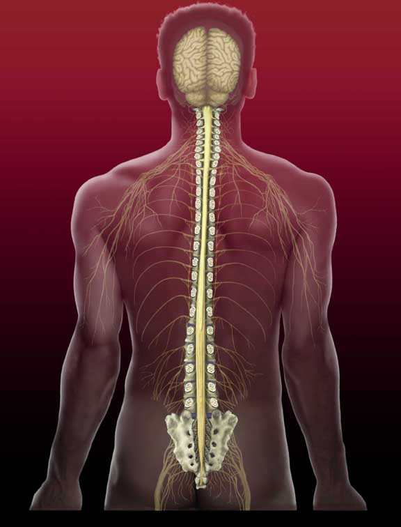 Spinal Cord  Spinal Cord