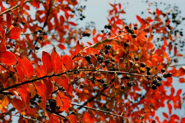 Il mondo in un giardino omaggio ai colori autunnali del for Bacche rosse nomi