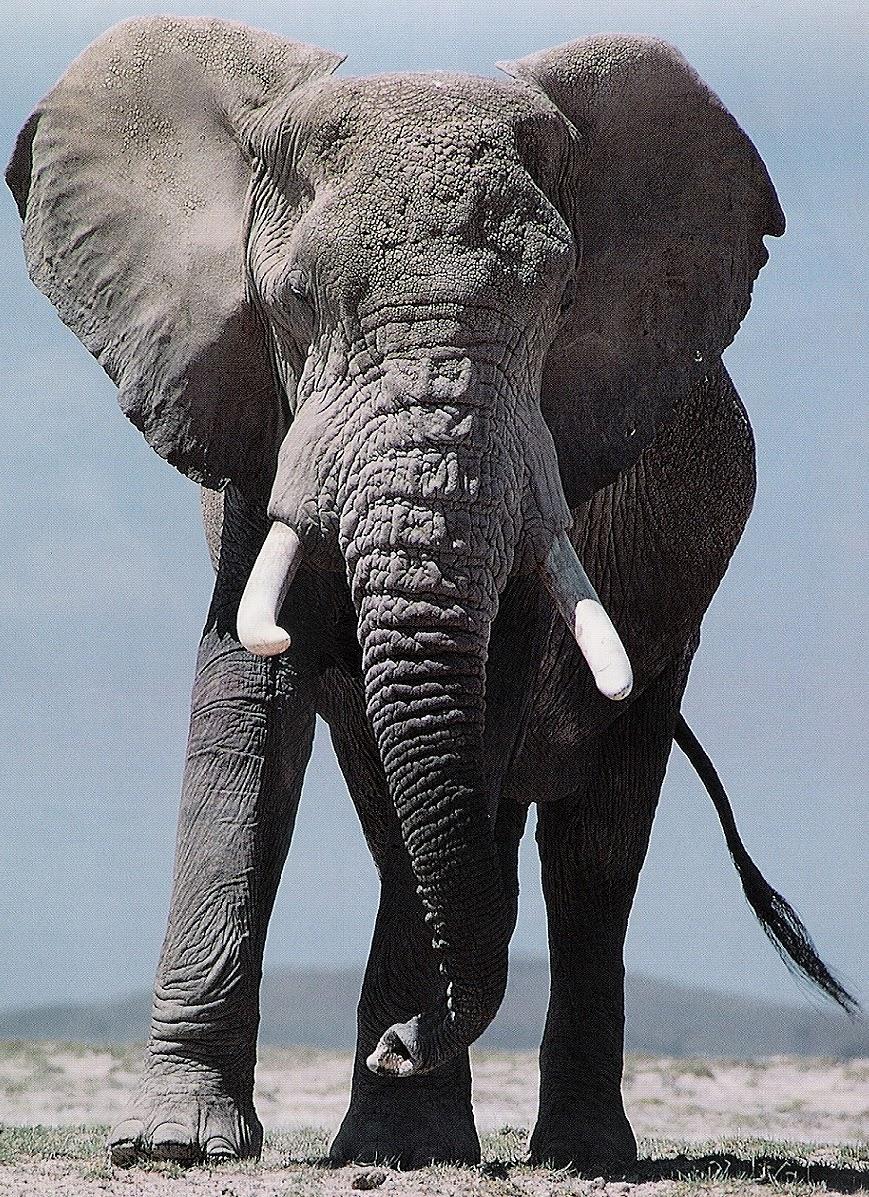 [Imagem: elefante+africano.bmp]
