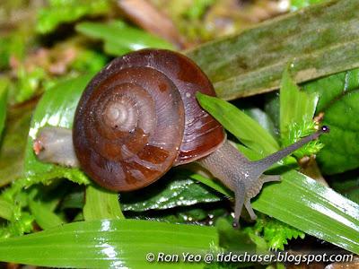 Luminescent Land Snail (Quantula striata)