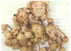 Health Info: Benefits of White Turmeric | Cubicle News and Info