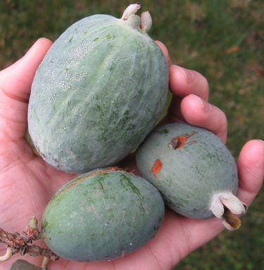 pineapple guava feijoa