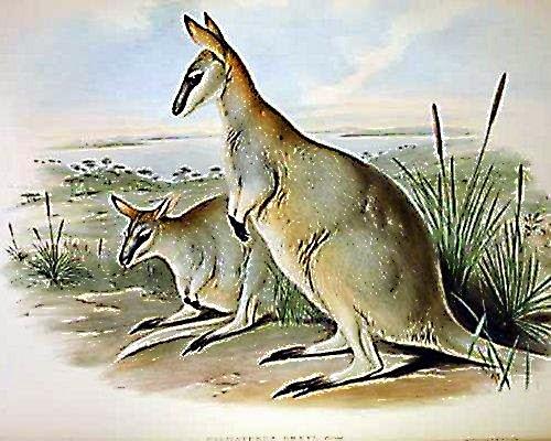Wallaby-Semua Hanya Sementara
