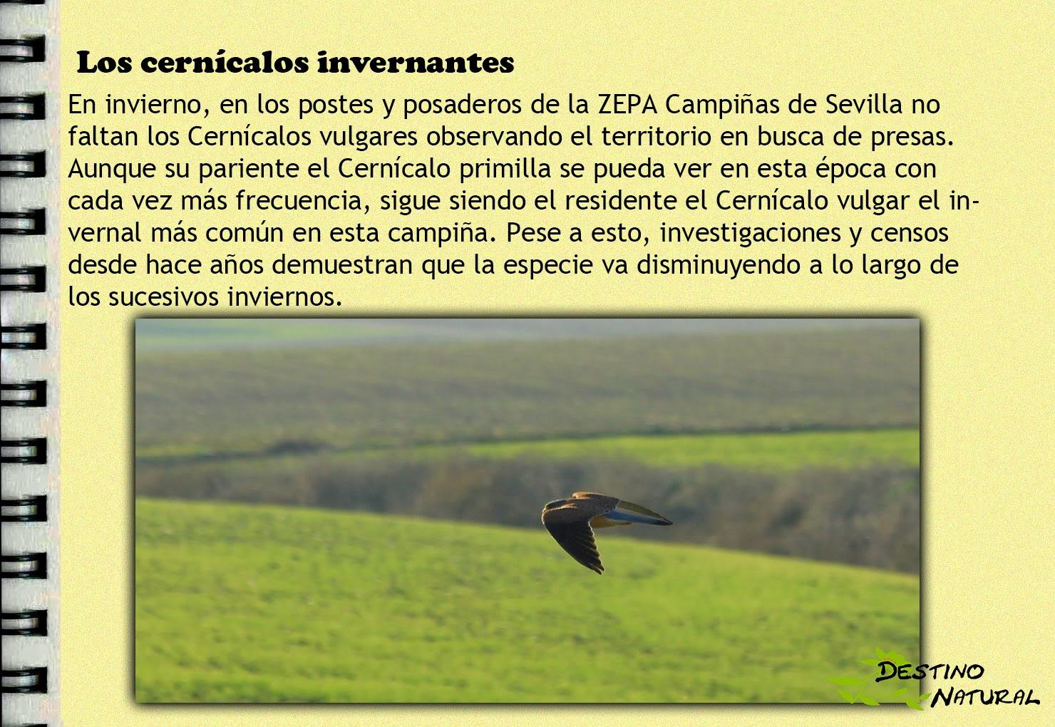Cernícalo vulgar en la ZEPA Campiñas de Sevilla