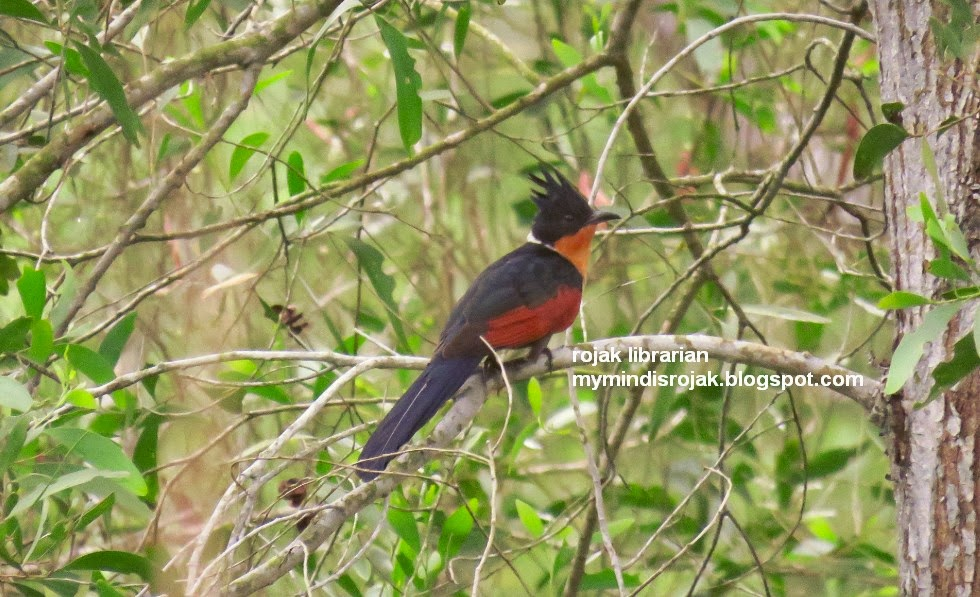 chestnut-winged cuckoo in Tampines Eco