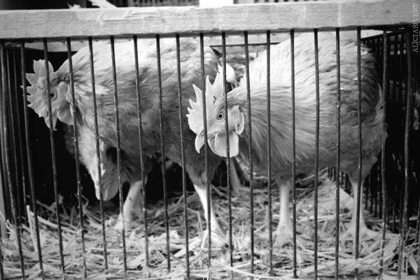 aliciasivert, alicia sivertsson, Le Nebourg, market day, livestock, hen, chicken, chicks, höns, hönor, kycklingar, marknad, marknadsdag, rooster, roosters, cocks, tupp, tuppar, bur, cage, black and white, svartvit