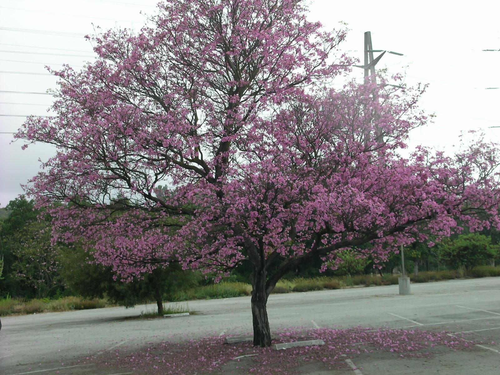 Berkeley Butterfly Blog Tabebuia heterophylla Pink Flowering Trumpet Tree