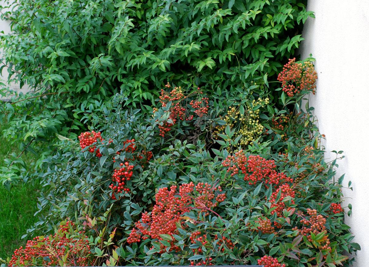 Il mondo in un giardino: a proposito di bacche: nandina domestica