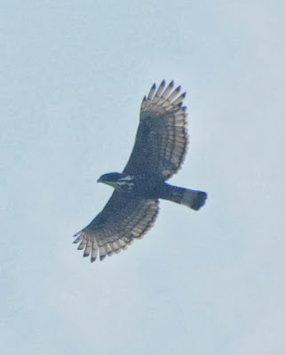 Blyth's Hawk-Eagle (Nisaetus alboniger)