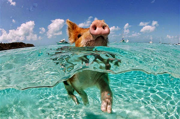 cerdos nadando en el mar