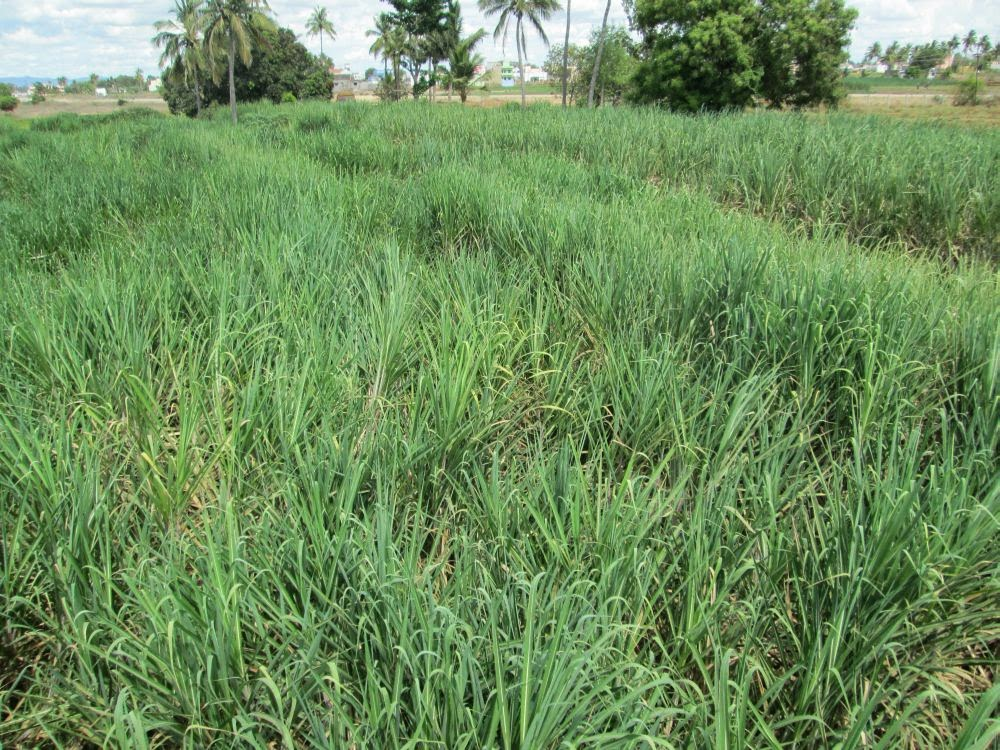 arunachala land sugarcane cultivation at tiruvannamalai