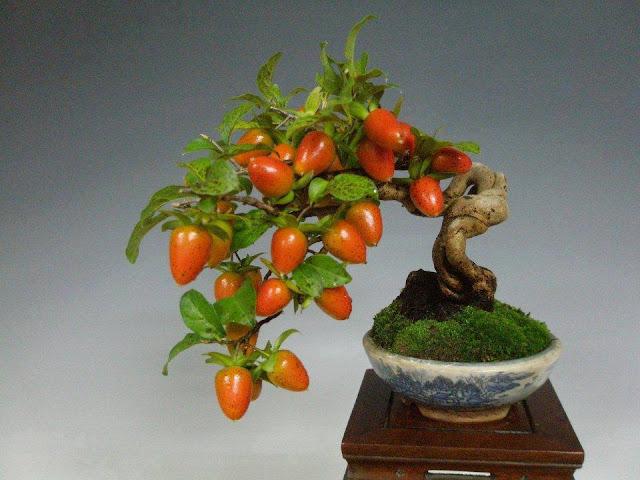 pohon bonsai buah yang menarik dan unik-6