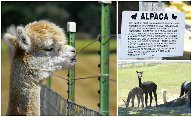 things to do on San Juan Island, visit alpaca farm