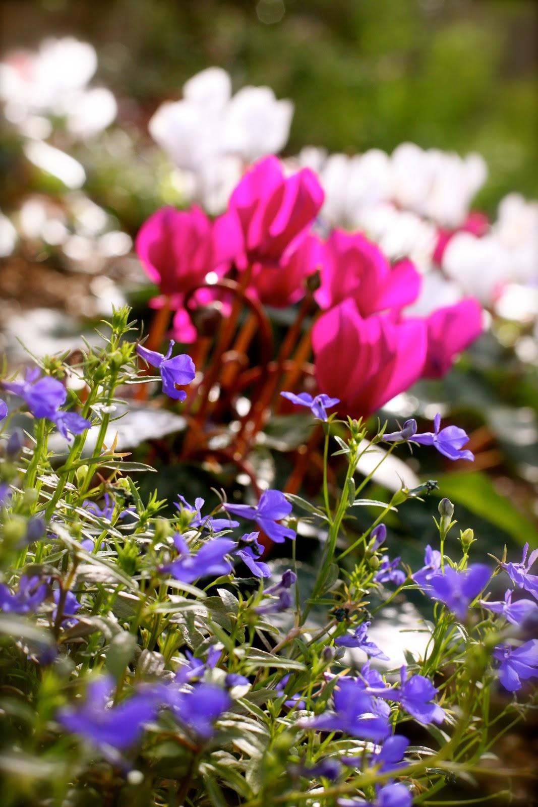 rambling wren cyclamen add bright color to a winter garden
