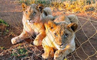 Filhotes de leão confinados em fazenda para animais na África do Sul