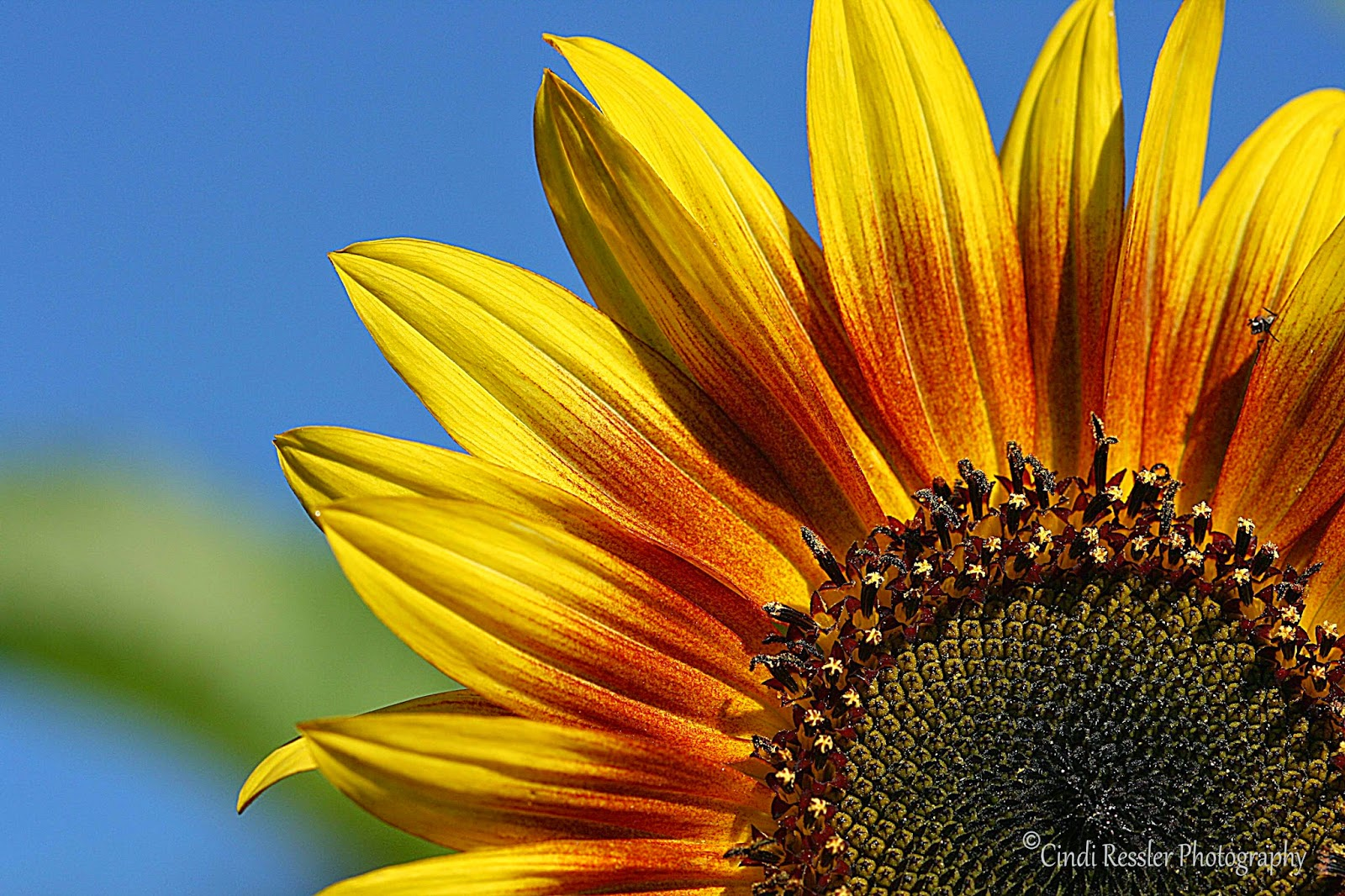 http://fineartamerica.com/featured/2-sunflower-cindi-ressler.html