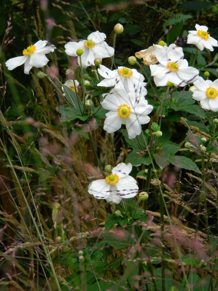 Honorine Jobert Japanese anemone x hybrida detail Fall blooming perennials Garden muses--a Toronto gardening blog