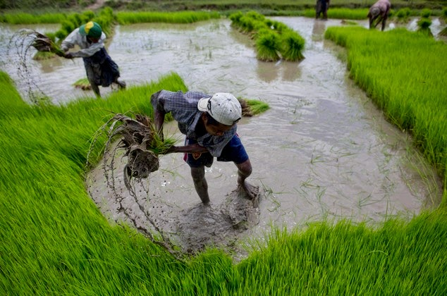 http://www.dailymail.co.uk/wires/ap/article-2722864/PICTURED-Planting-rice-traditionally-Myanmar.html