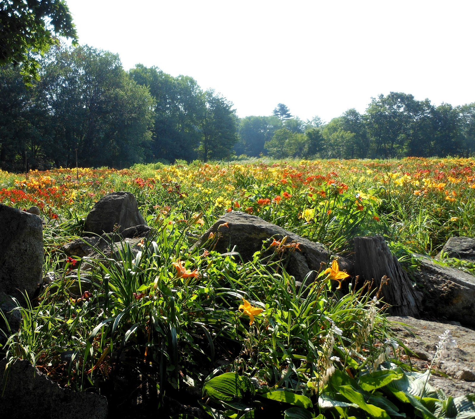 "lilies field Yet, considering such ""trivial"" matters as the lilies of the field may help us to   consider the lilies of the fields, how they grow they toil not, neither do they spin: ."