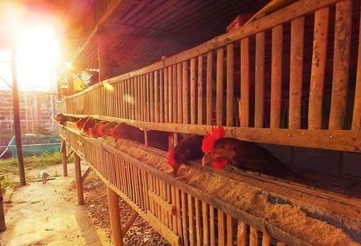ayam potong blitar
