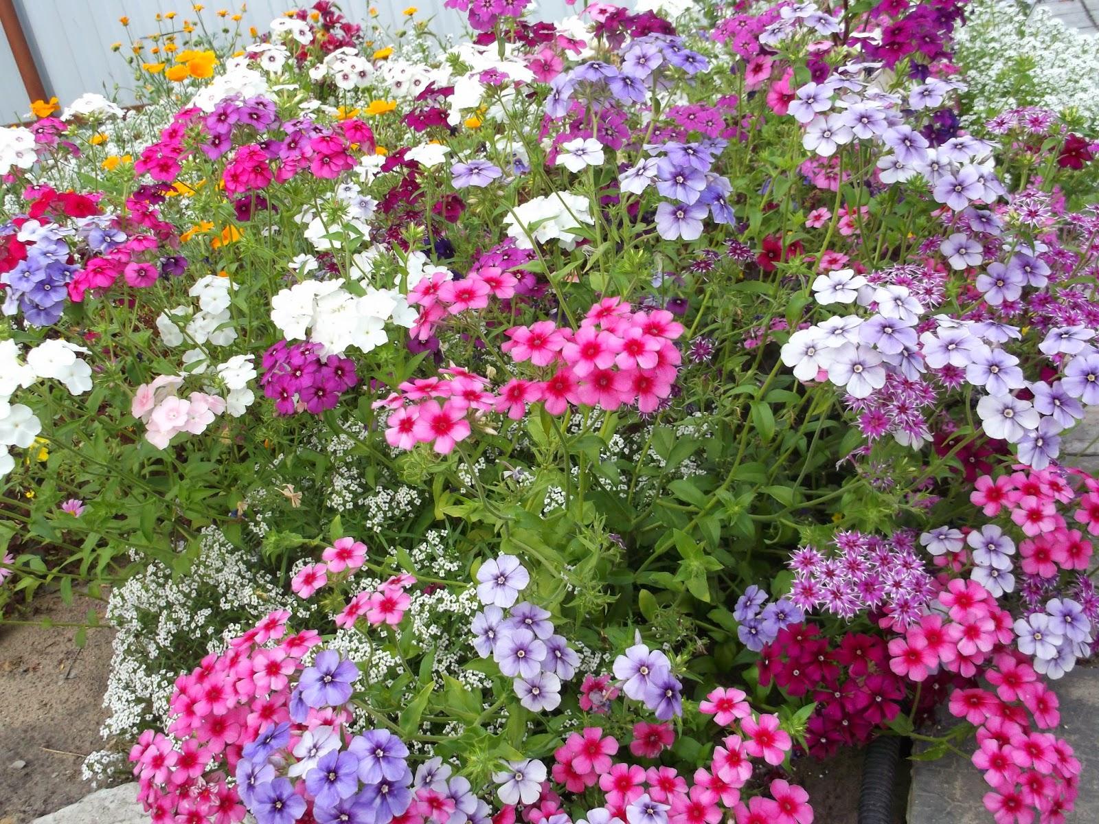 Флоксы сочетание с другими цветами